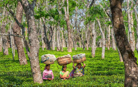 Tea pickers in Sango